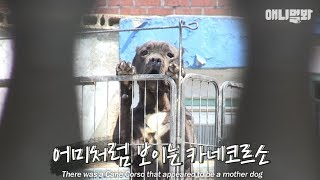 Download The abandoned Cane Corsos found their owner... but a shocking truth is to be unveiled.. Video