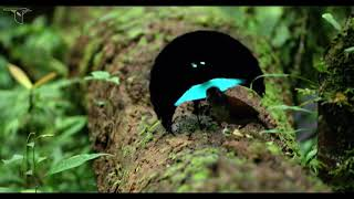 Download Vogelkop Superb Bird-of-Paradise Video