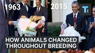 Download How animals have changed since humans started breeding them Video