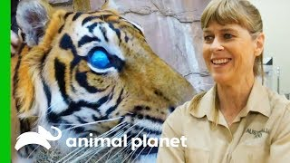 Download Hunter The Blind Tiger Gets a Check-Up For His Prosthetic Eyes | Crikey! It's The Irwins Video