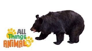 Download BLACK BEARS: Animals for children. Kids videos. Kindergarten | Preschool learning Video