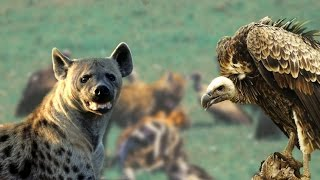 Download Hyenas & Vultures Brutal Killing #HD - Wild Feeding Moments Video