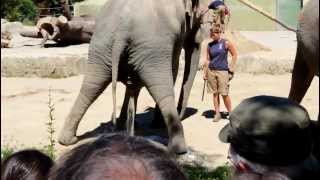 Download An elephant having a pee Video