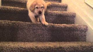 Download 7-week-old yellow Lab goes down stairs for the first time Video