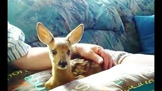 Download my pet fawn Video