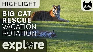 Download Tigers Lounge At Big Cat Rescue - Live Cam Highlight Video
