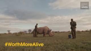 Download Saving the Northern White Rhino Video