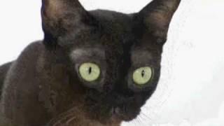 Download Cats 101: Burmese Video