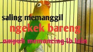 Download emosi tinggi.!!!duet lovebird receh ngetik NGEKEK koek ampuh yang dengar langsung ikut nyaut Video