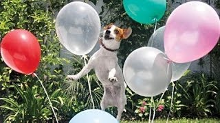Download Best Funny Dogs vs Balloons Compilation 2014    AHF Video