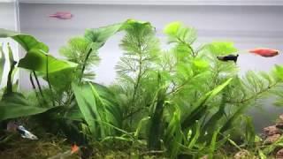 Download Setting Up Simple Guppy Aquarium Tank NO filter, NO CO2, NO Ferts for Amateur Video