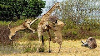 Download Wild Animals Fighting - Lion Attack Giraffe Video