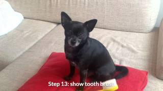 Download Brushing your chihuahua's teeth: a step by step approach. Video