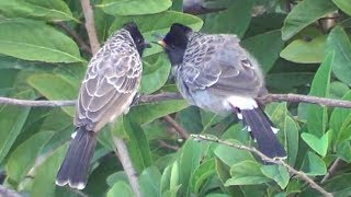 Download Bulbul Birds Love Making Video
