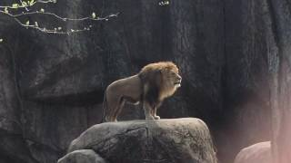 Download Epic Lion Roar at Lincoln Park Zoo Video