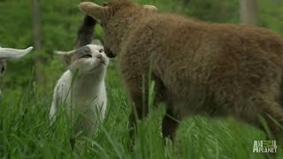 Download A Goat, a Lamb and a Rabbit Walk Out of a Farm | Too Cute! Video