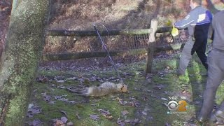 Download Crews Track Down Rabid Coyote Video