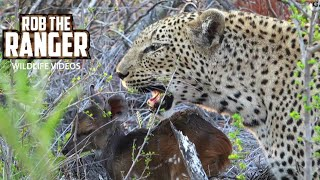 Download Two Leopards With A Live Bushbuck Fawn (Leopard Family, Part 28) Video