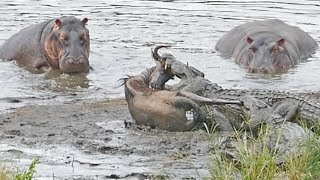 Download Hippos Save Wildebeest from Crocodiles! Video