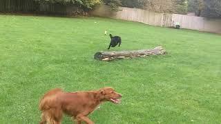 Download Callie, Maizey, Finlay, Murphy & Otis fooling around. Video