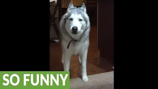 Download Husky throws hilarious mid-day temper tantrum Video