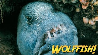 Download Wolffish & Wolf Eels   JONATHAN BIRD'S BLUE WORLD Video