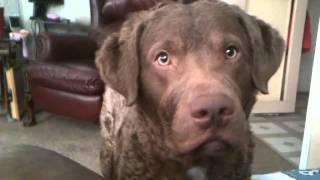 Download Diabetic Alert Dog in Action Video