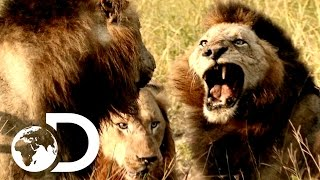 Download Most Savage Pack Of Lion Brothers | The Lions Of Sabi Sands Video