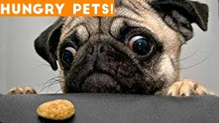 Download Funniest Hungry Pets Compilation 2018 | Funny Pet Videos Video