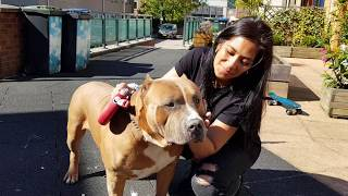 Download My Xl American Bully boys Tyson and his son Magnum, 8 and 5 years old Video