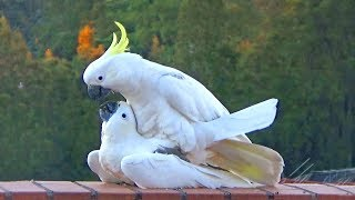 Download Sweet & Funny Cockatoo Love - wild parrots mating Video