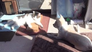 Download 【猫部屋はぽっかぽかで幸せそうなのらとくー】The cat room is very warm and happy Nora and Koo. Video