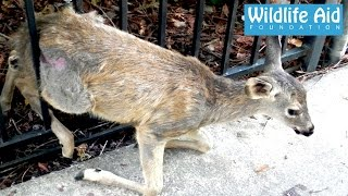 Download Trapped Fawn Gets Reunited With Her Mum! Video