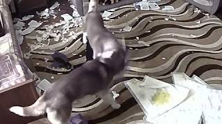 Download Хаски разносят дом Video
