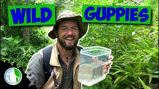 Download WILD GUPPIES FOR FISH TANK / AQUARIUM HOBBY Video