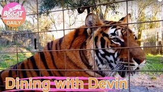 Download Feeding Tigers with BigCatDevin Video