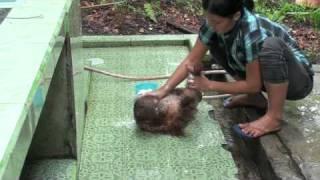 Download orangutan-baby-bath.mov Video