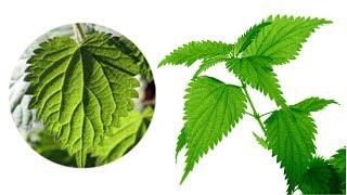Download Një gjethe e vetme e kësaj bime SHERON prostatën dhe ELEMINON diabetin! Video