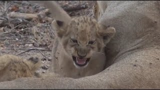 Download Safari Live : The Nkuhuma Pride, Lost cubs found on drive this afternoon Sept 09, 2016 Video