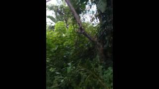 Download mikat burung pake pulut [mbah burung] Video