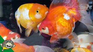 Download Dead Discus! Goldfish and Murphy Camera #Daily Dose 30 Video