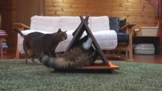 Download 三角爪とぎとまるとはな。-Triangle scratching board and Maru&Hana.- Video