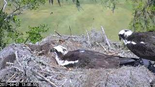 Download Intruder Alert on Savannah Osprey Cam – Apr. 7, 2017 Video