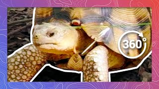 Download Ploughshare Tortoise | One of the Rarest Tortoises in the World (in 360 5K) Video