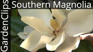 Download Evergreen Southern Magnolia - Magnolia Grandiflora - How to grow Bull Bay Magnolia Video