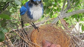 Download Scrub Jay Nesting and Chick Activity Highlights 5-1-2015 V18182 Video