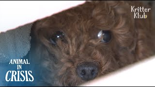 Download Abandoned Poodle Was Imprisoned On An Isolated Rooftop For Two Months | Animal in Crisis EP96 Video