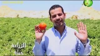 Download زراعة الطماطم فى الاراضى الصحراوية مغذيات التحجيم او زيادة حجم ثمرة الطماطم Video