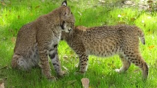 Download Bobcats Use Tools To Escape Video
