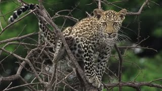 Download Heart Stopping Big Cat Moments | Top 5 | BBC Earth Video